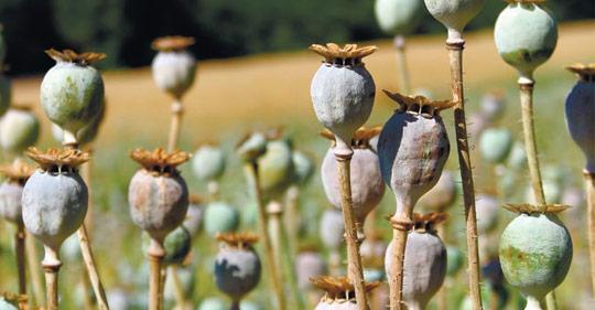 Пища богов, или Как лекарства стали наркотиками?